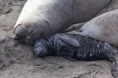 Elephant seal mom and baby stock photography
