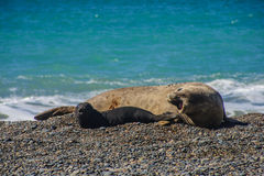 Elephant Seal Royalty Free Stock Photo