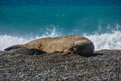 Elephant Seal Royalty Free Stock Photos