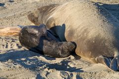 Elephant seal mother and pup on a beach. Female elephant seal with infant pup sleeping on a beach in California. Pups nurse about four weeks are weaned abruptly Royalty Free Stock Photos