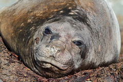 Elephant seal moulting, Antarctica Royalty Free Stock Photo