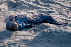 Elephant Seal Newborn Pup. A newborn elephant seal pup, Mirounga angustirostris, dries and warms in the dawn light on the central coast of California stock images