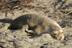 Elephant seal on Pacific coast in California. Elephant seal sunbathing on Pacific coast in California royalty free stock images