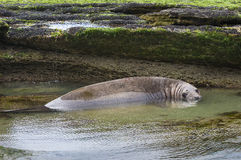 Elephant seal, Patagonia Argentina Royalty Free Stock Image
