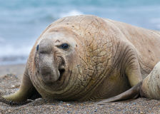 Elephant seal, Stock Photos