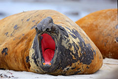Elephant seal with peel off skin. Big sea animal in the nature habitat in Falkland Islands. Elephant seal in the nature. Detail fa. Ce portrait royalty free stock images