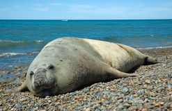 Elephant seal in Peninsula Valdes, Patagonia. royalty free stock photography