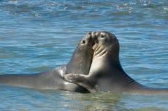 Elephant seal in Peninsula Valdes, Patagonia. stock images