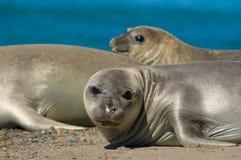 Elephant seal in Peninsula Valdes, Patagonia. Elephant seal in the coast of Peninsula Valdes, Patagonia, Argentina stock photography