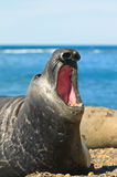 Elephant seal in Peninsula Valdes, Patagonia. Elephant seal in the coast of Peninsula Valdes, Patagonia, Argentina Royalty Free Stock Photos