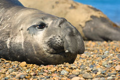 Elephant seal in Peninsula Valdes, Patagonia. Stock Images