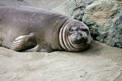 Elephant seal pup. Two Elephant seal pups on the beach in Big Sur, California coast, USA Stock Photos