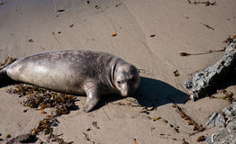 Elephant Seal pup Stock Image
