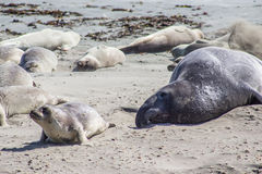Elephant Seal and Pup Stock Photography