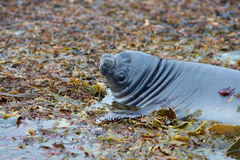 Elephant Seal Pup - Falkland Islands. Southern Elephant Seal pup (Mirounga leonina) learning to swim in a small pool on Sealion Island in the Falkland Islands Royalty Free Stock Photography