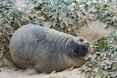 Elephant Seal Pup - Falkland Islands. Southern Elephant Seal pup (Mirounga leonina) on Sealion Island in the Falkland Islands Royalty Free Stock Photos