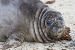 Elephant Seal Pup - Falkland Islands Royalty Free Stock Images