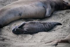 Northern Elephant Seal Pup. Elephant seal pup with its mother in San Simeon, California Stock Image