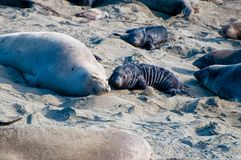 Elephant Seal Pup and Mother Bonding stock images