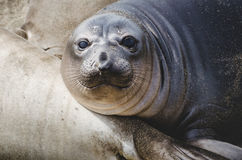 Elephant seal pup. An elephant seal pup resting against another elephant seal on a beach on Californias Central Coast near San Simeon Stock Photography
