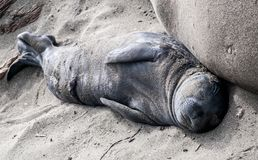 Northern Elephant Seal Pup. Elephant seal pup sleeping next to its mother Royalty Free Stock Photo