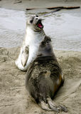 Elephant seal pups Stock Photos