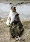 Elephant seal pups. Two Elephant seal pups on the beach in Big Sur, California coast, USA Stock Photos