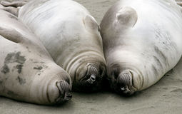 Elephant seal pups Royalty Free Stock Photo