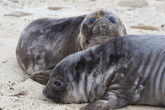 Elephant Seal Pups - Falkland Islands Royalty Free Stock Photo