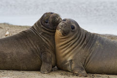 Elephant Seal Pups - Falkland Islands Royalty Free Stock Photography