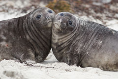 Elephant Seal Pups - Falkland Islands Stock Image