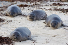 Elephant Seal Pups - Falkland Islands Stock Photo