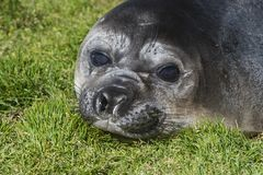 Elephant Seal close up resting. Elephant Seal restin on beach at South Georgia Stock Photo