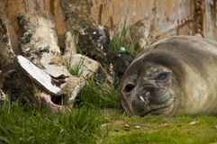 Elephant Seal Resting by Boat. A female Elephant Seal resting by whale bones and a rusting boat royalty free stock images