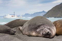 Elephant seal resting stock images