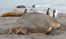 Elephant seal resting Royalty Free Stock Photos