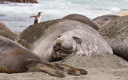 Elephant seal resting Stock Photos