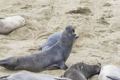Elephant seal  roaring at the beach. Male Elephant seal roaring at the beach Royalty Free Stock Photos