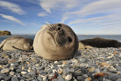 Elephant Seal on the rocks Stock Images