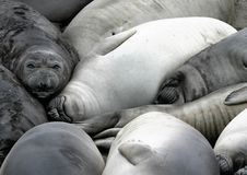 Elephant Seal Rookery. ~ Young Seals Resting In A Group Stock Photo