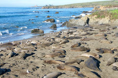 Elephant Seal Rookery Central California Royalty Free Stock Images