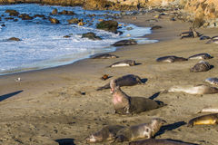 Elephant Seal Rookery. Large Mature Male Northern Elephant Seal Posturing Dominance On Beach With Females And Immature Young Bulls, Piedras Blancas Rookery Stock Images