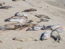 Elephant seal rookery. On Piedra Blancas beach in Big Sur, Highway1, California Royalty Free Stock Image