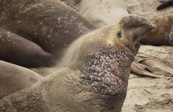 Elephant Seal sand bathing Stock Photos
