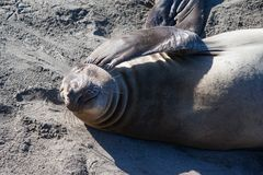 Elephant Seal Scratching Royalty Free Stock Image