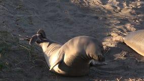 Elephant Seal stock video
