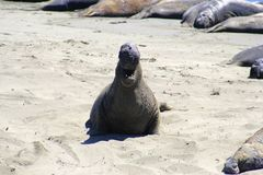 Elephant Seal Smilng Stock Photo