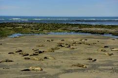 Elephant seal Royalty Free Stock Photos