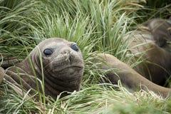 Elephant seal, South Georgia, Antarctica stock photos