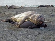 Elephant seal, South Georgia royalty free stock photo